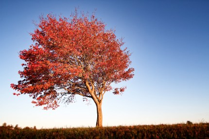 Lonely Red Tree